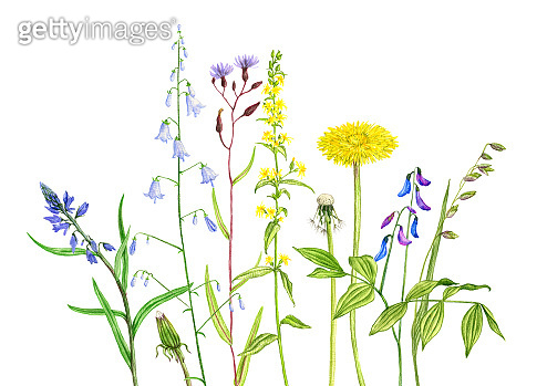 wild plants and flowers, drawing by colored pencils
