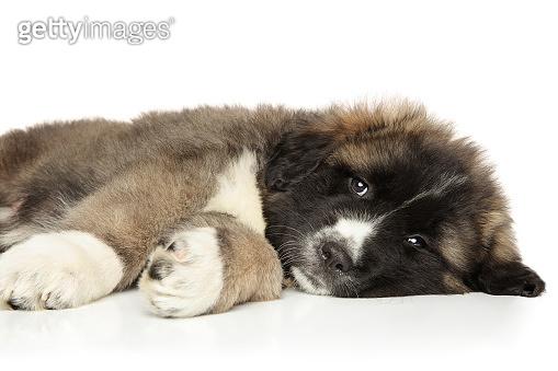 Caucasian shepherd puppy resting