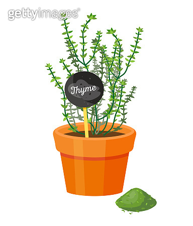 Thyme Plant and Powder Spice Vector Illustration