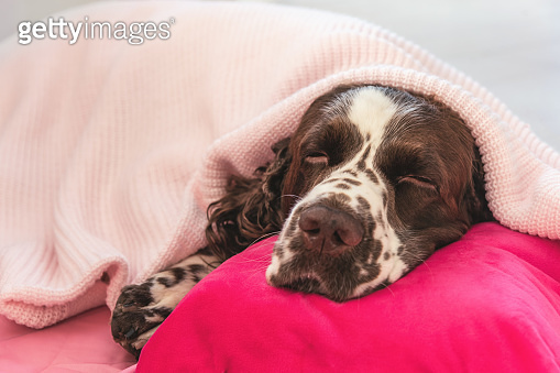 Spaniel dog covered with blanket sleeping on bed