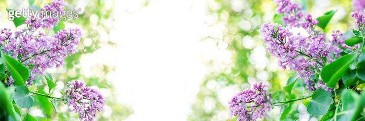 Blue lilac bush flower on blurred green background. Springtime blossom concept. Selective soft focus.