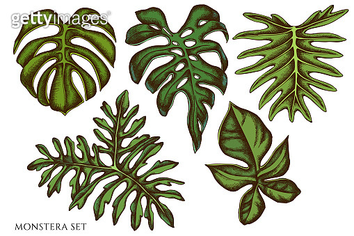 Vector set of hand drawn colored  monstera