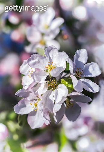 flowers on a branch of an Apple tree against the background of the blooming tree