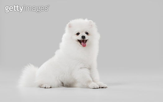 Studio shot of Spitz dog isolated on grey studio background