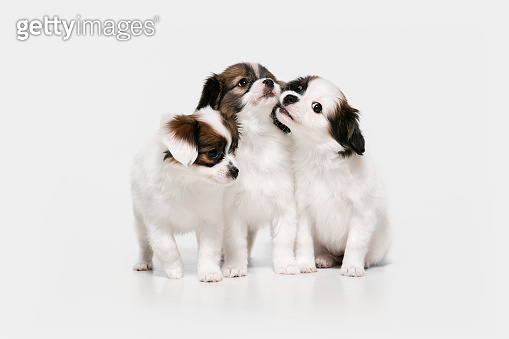 Studio shot of Papillon Fallen little dogs isolated on white studio background
