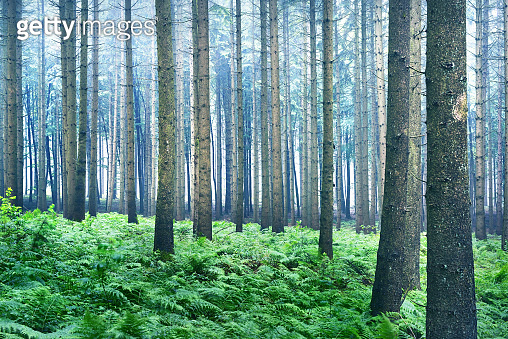 Misty evergreen forest scene. Pine trees and fern leaves close-up. Germany