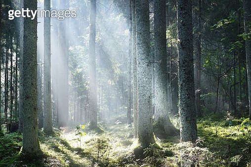 Sun rays flowing through the coniferous tree trunks at sunrise. Evergreen forest in a morning fog. Young fir and tall pine trees. Idyllic landscape. Environmental conservation in Finland