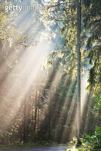 Sun rays flowing through the coniferous tree trunks at sunrise. Evergreen forest in a morning fog. Idyllic landscape. Environmental conservation in Finland