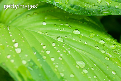 Rain water dew drops on leaf