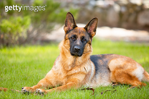 German shepherd lying on the grass in the park.