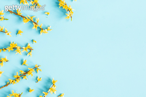 Flowers composition. Yellow flowers on blue background. Spring concept. Flat lay, top view
