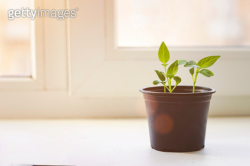 The seedling are growing from the rich soil to the morning sunlight that is shining, ecology concept. Small Garden Rake and Garden Shovel, Gardening Spring or Summer Concept.