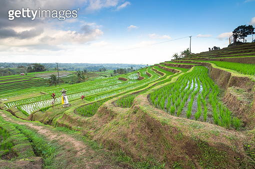 The rice terraces of Tegallalang, Bali, Indonesia located near the town of Ubud.