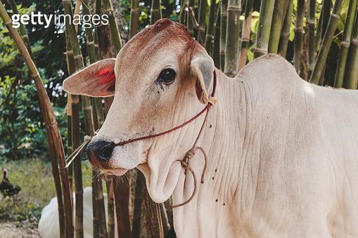 asian cow at bamboo farm