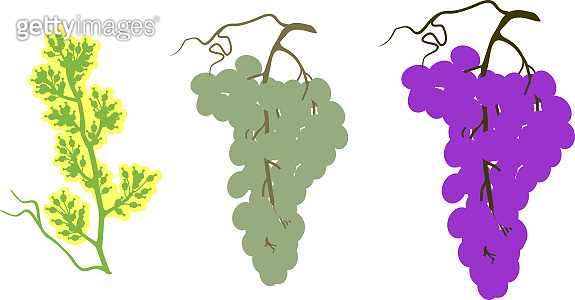 Three stages of ripening bunch of grapes: flowering, green fruits and ripe berries