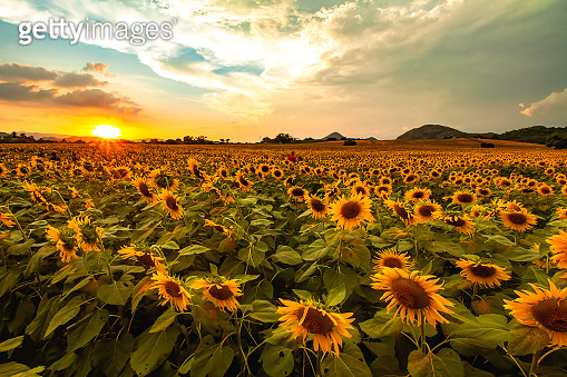 View of the sunflower field with the sunset light