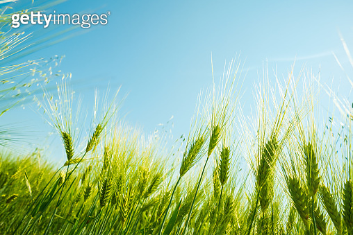 Green wheat field on sunny day. Natural background. Harvest concept. Zero angle