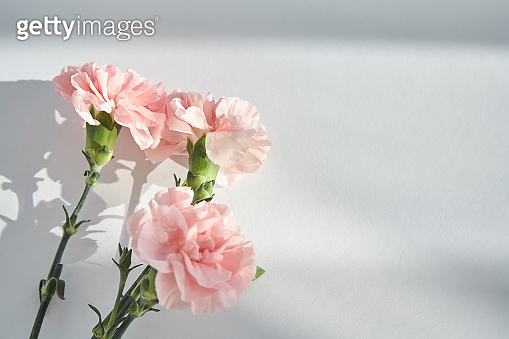 top view of pink carnations on white background with sunlight and shadows