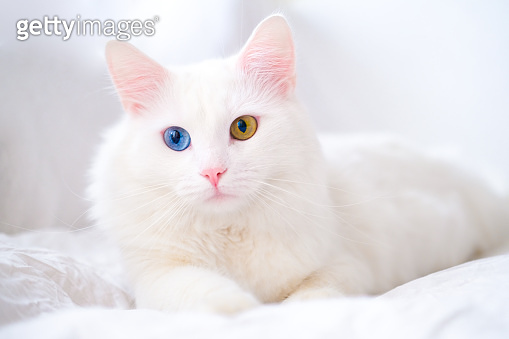 White cat with different color eyes. Turkish angora. Van kitten with blue and green eye lies on white bed. Adorable domestic pets, heterochromia