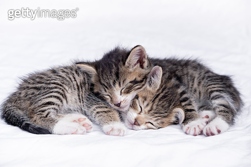 Two small striped domestic kittens sleeping at home lying on bed white blanket. Concept of cute adorable pets cats