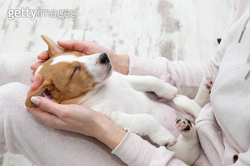 Puppy Jack Russell dog sleeping Terier the hands