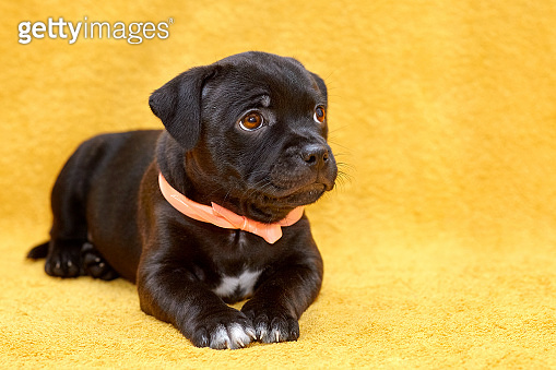 Close up portrait of cute little puppy of Staffordshire bull terrier breed, black color with coral ribbon on the neck, looking up.