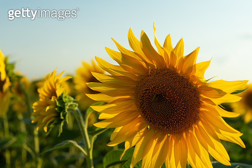 Field of blooming sunflower. Agricultural production. Farming. Growing food.
