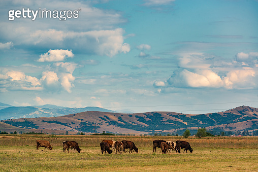 Grazing cows on the pastures of Pelagonia valley, Northern Macedonia.