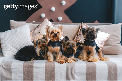 Four pretty yorkie sitting on comfortable sofa indoors
