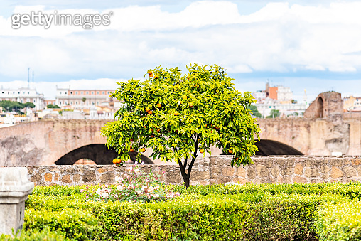 Small orange tree in garden of Roman Forum, Rome, Italy
