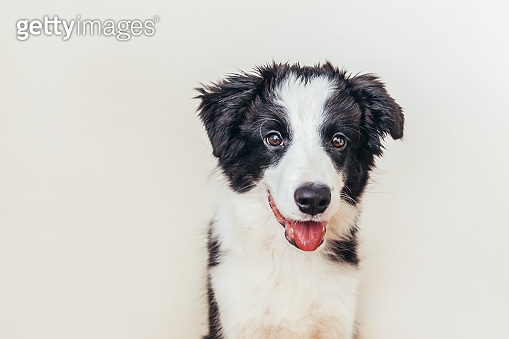 Funny studio portrait of cute smiling puppy dog border collie isolated on white background. New lovely member of family little dog gazing and waiting for reward. Pet care and animals concept