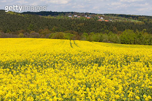 Field of blooming canola, rapeseed yellow flowers, rural landscape