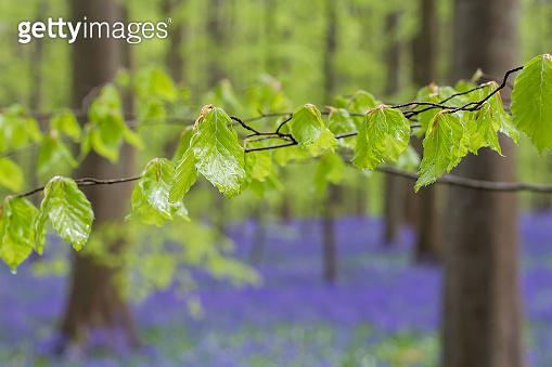 Detail of fresh green beech tree new springtime foliage