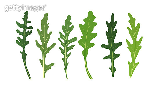 Mix of salad leaves. Set of arugula rucola, rocket salad fresh green leaves isolated on white background. Vector Illustration.