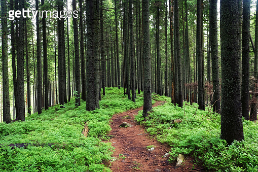 Beautiful evergreen forest with pine trees and trail