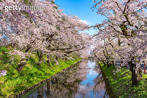 Hirosaki city cherry blossom matsuri. Clear blue sky springtime sunny day. Hanaikada petals raft at outer moat