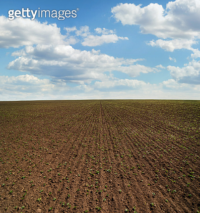 Rows of young sprouts of soybean, legumes at spring, month from the date of landing
