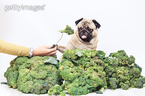 pug is sitting in big heap of broccoli and is holding paw of fork with broccoli. Healthy eating concept. vegan dog. isolated on white.