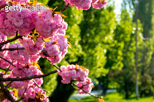 pink cherry blossom background in backlit sunlight