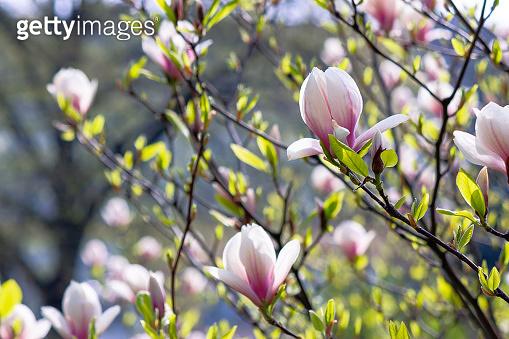 white magnolia blossom background