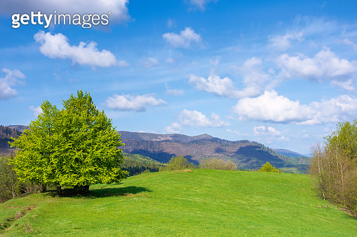beech tree on the grassy meadow in springtime