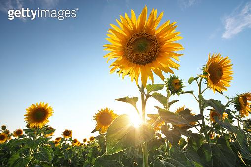 Field of sunflowers.