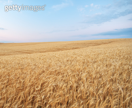 Meadow of golden wheat