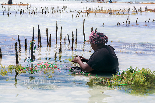 woman sitting during low tide in the kelp growing farm
