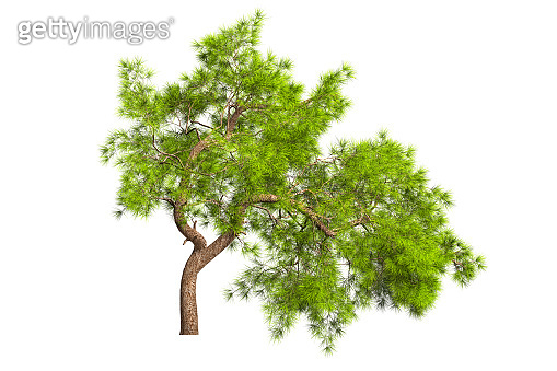 A coniferous evergreen spruce tree with a lush crown and a curved transverse trunk on a white background. Isolate oneself. 3D illustration.