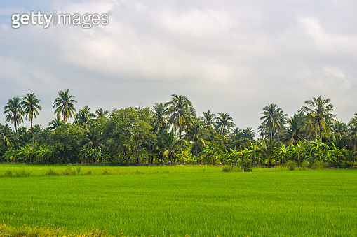 Greenery rice fields with coconut trees in the background in countryside of Thailand.