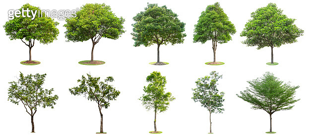 The collection of trees isolated on white background. Beautiful and robust trees are growing in the forest, garden or park. Many trees give you the choice to be decorated.