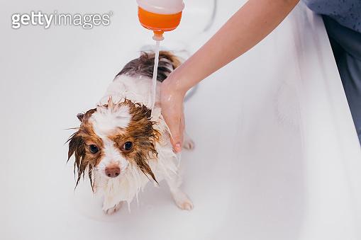 beautiful pet spitz get shower in bath