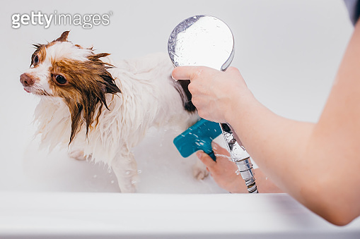 professional groomer wash the dog in bath