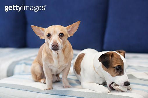 Two dogs sit on couch and share bone. dog smog in eyes. Close-up portrait of dog. Jack russell terrier and red dog. Canine friendship. Domestic dogs in apartment. Chihuahua. Dog life. 2 dogs at home